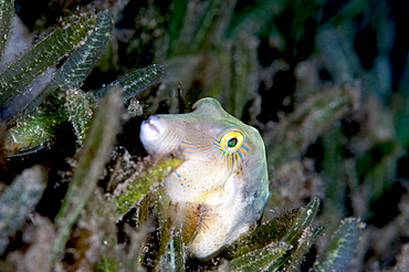 Sharpnose pufferfish (Canthigaster rostrata), Dominica, West Indies, Caribbean, Central America
