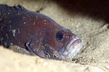 Whitespotted soapfish (Rypticus maculatus), Dominica, West Indies, Caribbean, Central America