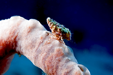 Hermit crab on a sponge, Dominica, West Indies, Caribbean, Central America