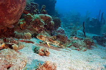 Flying gurnard (Dactylopterus volitans), Dominica, West Indies, Caribbean, Central America