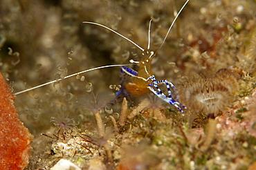Pederson shrimp (Periclimenes pedersoni), Dominica, West Indies, Caribbean, Central America