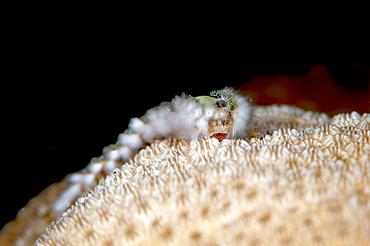 Fireworm (Hermodice carunculate), Dominica, West Indies, Caribbean, Central America - 1103-439
