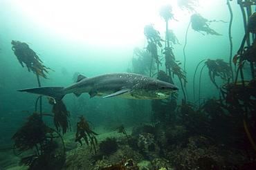 Seven gill shark, Cape Town, South Africa, Africa - 1103-445