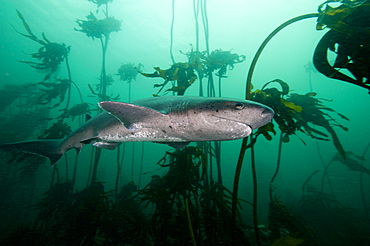Seven gill shark, Cape Town, South Africa, Africa - 1103-446