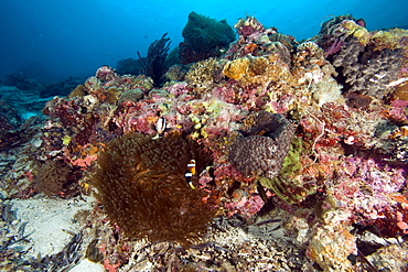 Reef scene at Nalusuan Marine Sanctuary, Cebu, Philippines, Southeast Asia, Asia