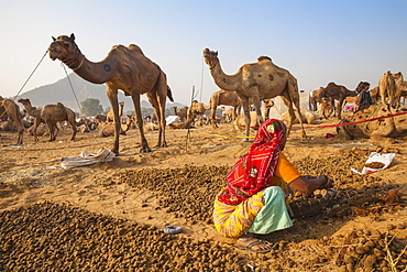 Woman collecting camel droppings to use as fuel, Pushkar Camel Fair, Pushkar, Rajasthan, India, Asia
