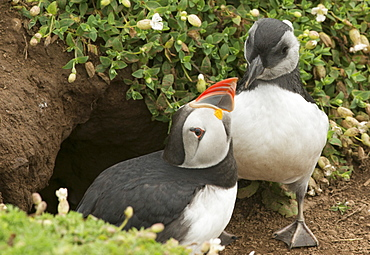 Adult puffin and puffling at entrance to burrow, Wales, United Kingdom, Europe