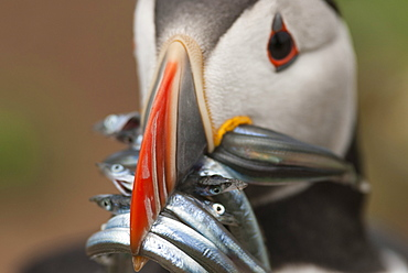 Puffin with sand eels in beak, Wales, United Kingdom, Europe