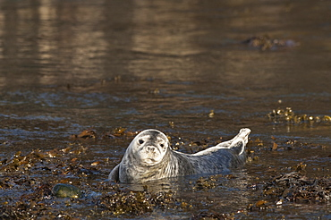 Atlantic grey seal (Halichoerus grypus) pup, Martins Haven, Pembrokeshire, Wales, United Kingdom, Europe