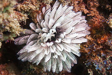 Fan worm, Mozambique, Africa
