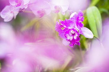 Orchids in the Orchid House, Kandy Royal Botanical Gardens, Peradeniya, Kandy, Sri Lanka, Asia