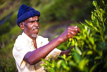 A male tea picker picking tea in the Sri Lanka Central Highlands, Tea Country, Sri Lanka, Asia