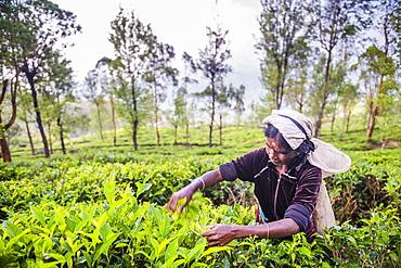 Sri Lanka tea plantation, a tea picker picking tea in the Sri Lanka Central Highlands, Tea Country, Sri Lanka, Asia