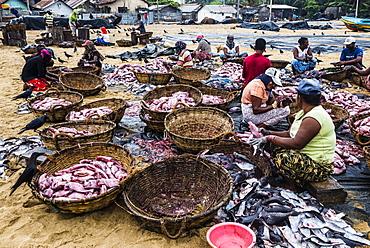 Negombo fish market (Lellama fish market), women gutting fish, Negombo, West Coast, Sri Lanka, Asia