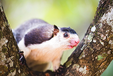 Grizzled giant squirrel (Ratufa macroura) at Sigiriya Rock Fortress, Sri Lanka, Asia