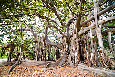 Large twisted roots of a Moreton Bay fig tree (banyan tree) (Ficus macrophylla), Palermo Botanical Gardens, Palermo, Sicily, Italy, Europe