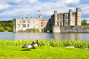 Geese at Leeds Castle, Maidstone, Kent, England, United Kingdom, Europe