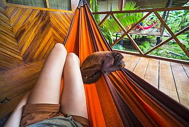 Tourist with tame red howler monkey, Tambopata National Reserve, Puerto Maldonado Amazon Jungle area, Peru, South America