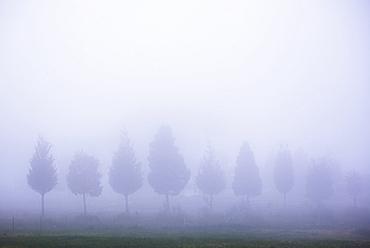 Misty poplar tree landscape, Hacienda Zuleta, Imbabura, Ecuador, South America