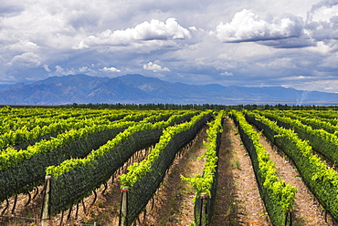 Vineyards in the Uco Valley (Valle de Uco), a wine region in Mendoza Province, Argentina, South America