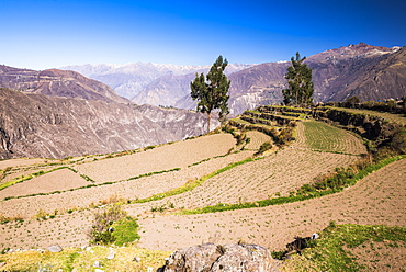 Colca Canyon pre-Inca terraces and farmland at Cabanaconde, Peru, South America