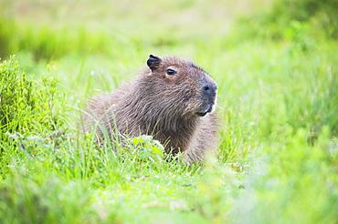 Capybara (Hydrochoerus hydrochaeris), Ibera Wetlands (Ibera Marshes), a marshland area in Corrientes Province, Argentina, South America