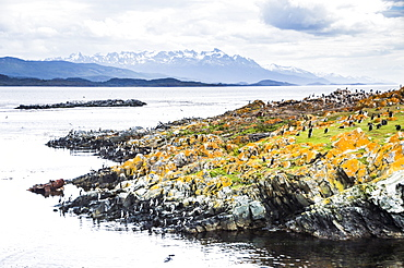 Cormorant colony on an island at Ushuaia in the Beagle Channel (Beagle Strait), Tierra Del Fuego, Argentina, South America