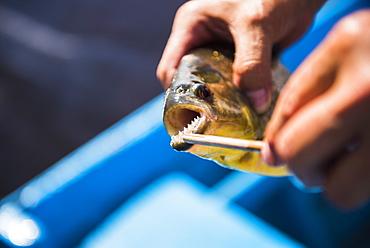 Piranha fishing in the Ibera Wetlands, Estancia San Juan de Poriahu, Corrientes Province, Argentina, South America