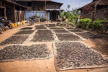Tea leaves drying, Hsipaw, Shan State, Myanmar (Burma), Asia