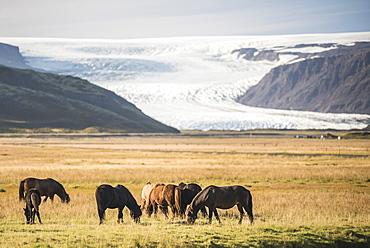 Icelandic horses with a glacier running down from the Vatnajokull Ice Cap behind, Iceland, Polar Regions