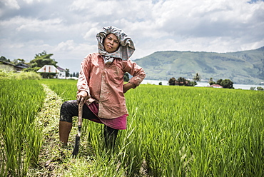 Female farmer working in a rice paddy field at Lake Toba (Danau Toba), North Sumatra, Indonesia, Southeast Asia, Asia
