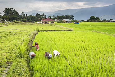 Women working in rice paddy fields at Lake Toba (Danau Toba), North Sumatra, Indonesia, Southeast Asia, Asia