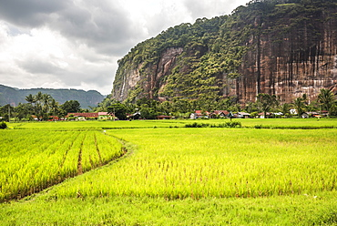 Rice paddy fields and cliffs in the Harau Valley, Bukittinggi, West Sumatra, Indonesia, Southeast Asia, Asia
