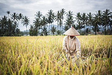 Farmers working in a rice paddy field, Bukittinggi, West Sumatra, Indonesia, Southeast Asia, Asia