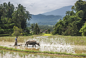 Ploughing rice paddy fields with Water Buffalo near Bukittinggi, West Sumatra, Indonesia, Southeast Asia, Asia