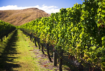 Vineyard at Clearview Estate Winery, Hastings, Hawkes Bay Region, North Island, New Zealand, Pacific