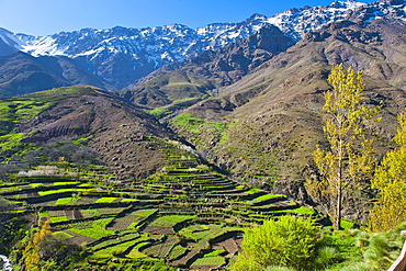 Terraced vegetable fields and farm land belonging to Berber farmers in the High Atlas Mountains, Morocco, North Africa, Africa