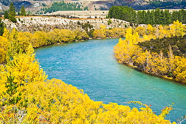 Autumn trees along the Clutha River, Wanaka, South Island, New Zealand, Pacific
