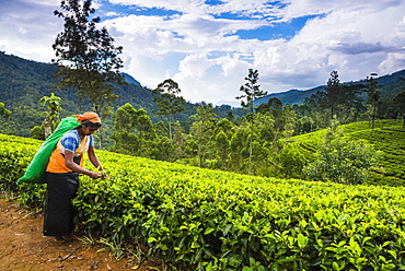 Tea picker in a tea plantation in the Hill Country, Sri Lanka's Central Highlands, Nuwara Eliya District of Sri Lanka, Asia