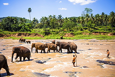 Pinnawala Elephant Orphanage, Elephants and mahouts in the Maha Oya River near Kegalle in the Hill Country of Sri Lanka, Asia