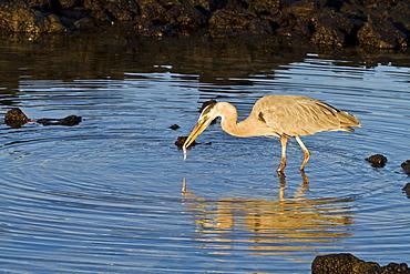Great blue heron (Ardea herodias), Cerro Dragon, Santa Cruz Island, Galapagos Islands, UNESCO World Heritge Site, Ecuador, South America