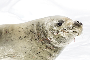 Female crabeater seal (Lobodon carcinophaga), Cuverville Island, near the Antarctic Peninsula, Southern Ocean, Polar Regions