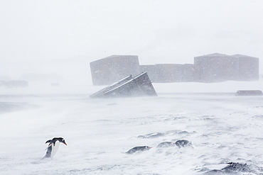 Adult gentoo penguins (Pygoscelis papua) in snow storm, Port Foster, Deception Island, Antarctica, Southern Ocean, Polar Regions