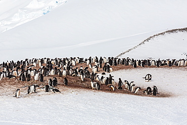 Adult gentoo penguins (Pygoscelis papua) mating colony on Cuverville Island, Antarctica, Southern Ocean, Polar Regions