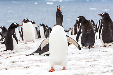 Adult gentoo penguins (Pygoscelis papua) courtship display, Neko Harbor, Antarctica, Southern Ocean, Polar Regions