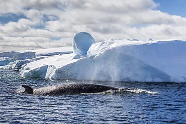 Antarctic Minke whale (Balaenoptera bonaerensis), Booth Island, Antarctica, Southern Ocean, Polar Regions