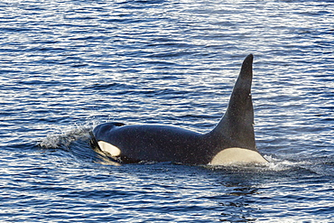 Type A killer whale (Orcinus orca) bull, traveling and socializing in Gerlache Strait near the Antarctic Peninsula, Southern Ocean, Polar Regions