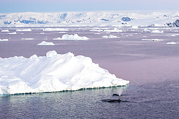 An adult Antarctic minke whale (Balaenoptera bonaerensis) surfacing in the Gerlache Strait, Antarctica, Southern Ocean, Polar Regions