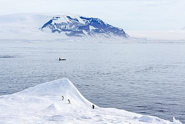 A pod of Big Type B killer whales (Orcinus orca) in Antarctic Sound, Antarctica, Southern Ocean, Polar Regions