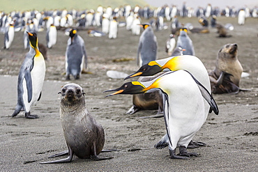 Antarctic fur seal (Arctocephalus gazella) pup with king penguins, Gold Harbour, South Georgia, South Atlantic Ocean, Polar Regions